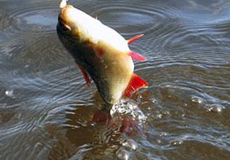 Ловля краснопёрки на поплавочную удочку